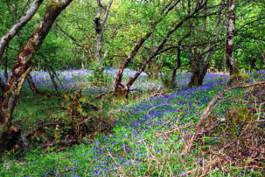 Bluebells in Gruline Woods